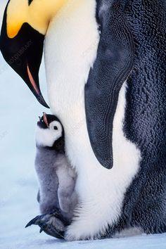 ĐỀ THI IELTS READING VÀ ĐÁP ÁN- Antarctic Penguins